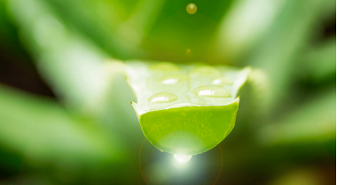 Aloe vera, un remedio natural milenario
